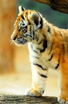 ~~Baby Tiger Cub   Milwaukee County Zoo~~