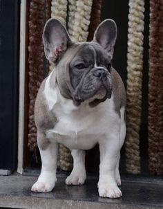 bouledogue français, French Bulldog