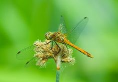 Ruddy Darter (immature maleP photographed 30 June 2006 by B Crowley