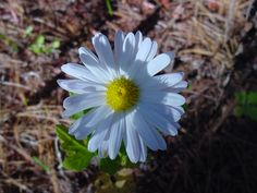 Another daisy shot. I have this one framed in my house.