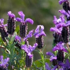 "20 Seeds, Lavender ""Fragrant Butterflies"" (Lavandula angustifolia) Seeds By Seed Needs by Seed Needs: Herbs. $1.65. Plants grows to a mature height of 2 to 3 feet tall. This herb is used for it's fragrance. Easily established from seed by sowing indoors or directly in the garden. Quality Lavender seeds packaged by ""Seed Needs"". Easy planting instructions printed on each Seed Needs packet along with a colorful picture of the plant.. Lavender is an aromatic herb..."
