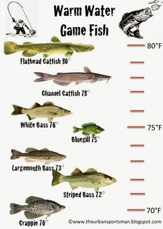 The Urban Sportsman: Understanding Gamefish By Temperature Bass Fishing Tips, Crappie Fishing, Gone Fishing, Kayak Fishing, Fishing Tricks, Fishing Basics, Fishing Stuff, Fishing Knots, Carp Fishing