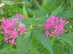 View picture of Panama Rose, Bush Pentas (Rondeletia leucophylla) at Dave's Garden.  All pictures are contributed by our community.