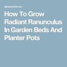How To Grow Radiant Ranunculus In Garden Beds And Planter Pots