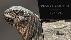 Iguana chased by snakes - Planet Earth II: Islands - BBC One.