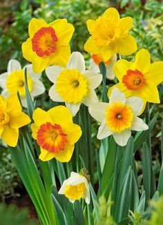 Daffodil Mixture: Narcissus Large-Cupped 'Giant-Mixture' - Photo © Netherland Bulb Company