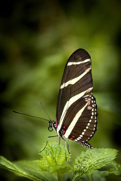 Zebra Longwing Butterfly, ready for anything. How's your New Year coming along? Are you ready for all the Goodness that may transpire this year?