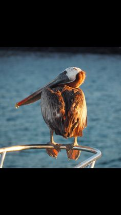 A brown pelican sits on the front of a boat in The Galápagos Islands
