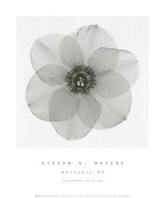 Daffodil II Art Print
