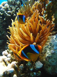 Clownfish~~Are there different types of clownfish?; as this doesn't look like Nemo.