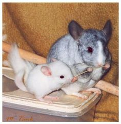 This is a Photo of my white Chinchilla DJ as a baby at runtime in my room taking a closer look at what his big pal Spotty is holding in his paws to see . Chinchilla - Hey what's munching ? Hamsters, Chinchillas, Rodents, All About Animals, Animals And Pets, Baby Animals, Cute Animals, Chinchilla Cute, Rats