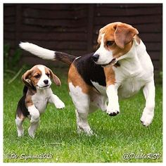 Thats right Baby, both front paws up together, then a big hop! Thats a good job! #Beagle