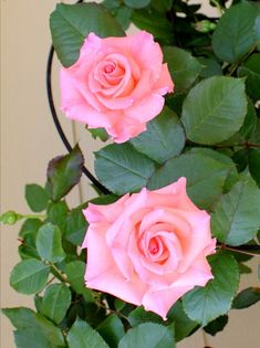 Flowers Nature, Love Flowers, Flowers Pics, Indoor Photography Tips, Pink Photography, Pale Pink, Pink Roses, Aesthetic Photography Nature, Coming Up Roses