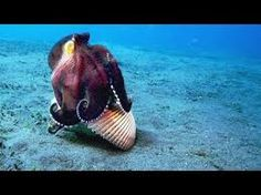 A Coconut Octopus Uses Tools to Snatch a Crab - CBS Interactive Inc. Ocean Creatures, Weird Creatures, Kraken, Octopus Eating, Coconut Octopus, Octopus Pictures, Octopus Art, Animal Magic, Great Barrier Reef