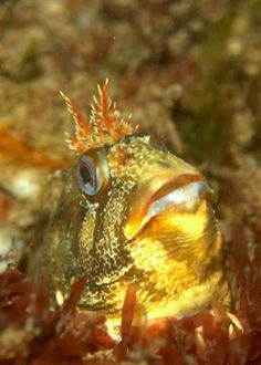 Tompot Blenny at Norfolk Coast    Contributed by: Rob Spray