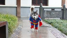 Siberian Husky in Superman Costume for large dogs. Does a bigger Superman Dog look more like a hero? Have a look at a small dog in Superman costume too. Pet Halloween Costumes, Animal Costumes, Pet Costumes, Funny Halloween, Costume Ideas, Superman Halloween, Funny Dogs, Cute Dogs, Funny Animals