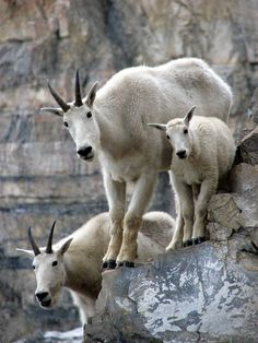 rocky mountain goat family ~ i love seeing these sweeties at our cabin on Holter Lake!