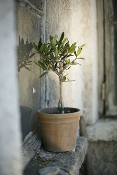 ... I love Olives, olive trees and olive trees so how could you not have one outside the kitchen door?
