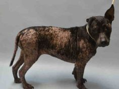 SUPER URGENT ♡ TRISH – A1082210 FEMALE, BLACK, AM PIT BULL TER MIX, 6 yrs STRAY – ONHOLDHERE, HOLD FOR ID Reason STRAY Intake condition UNSPECIFIE Intake Date 07/22/2016, From NY 11213, DueOut Date 07/25/2016,