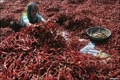 A woman removes stalks from red chilli at a farm in Shertha village on the outskirts of Ahmedabad February 15, 2012.