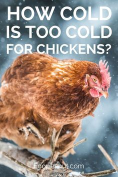 Are you trying to raise a few chickens in your backyard?If yes, then you may be wondering, how cold is too cold for chickens?Depending on where you live, the winters can be pretty brutal and you may be concerned that your beloved chickens are freezing the Portable Chicken Coop, Backyard Chicken Coops, Chicken Coop Plans, Building A Chicken Coop, Diy Chicken Coop, Chicken Coop Winter, Farm Chicken, Chicken Chick, Backyard Poultry
