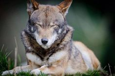 Red wolf at Point Defiance Zoo and Aquarium, a Red Wolf Species Survival Plan participant and where the program began.  Photo credit theirs.