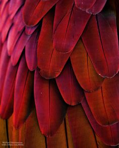 Macaw Feathers (Red/Yellow) by Michael Fitzsimmons on 500px