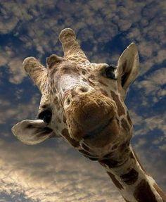 Hello giraffe! ~ Masai Mara, Kenya Phot Happy Birthday Giraffe, Birthday Kids, Africa Nature, Mickey Mouse, Destination Voyage, Friend Photos, Freundlich, Nature Pictures, Make You Smile