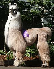 Koenig& Llamas: Winning Conformation, Friendly, with Exceptional Fiber Alpacas, Llama Arts, Camels, Sheep, Goats, Cool Pictures, Wool, Donkeys, Cousins