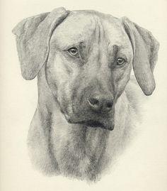 I love my Buckaroo! Perfect pic, looks just like him:)  Rhodesian Ridgeback by Steph Dix