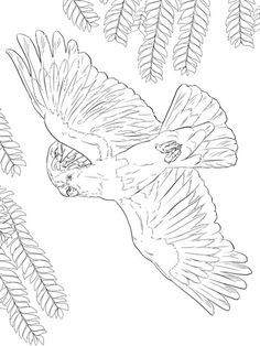 major mitchells or pink cockatoo coloring page