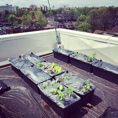 Urban Agriculture and Green Roofs: before and after one month