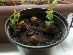 Aprende paso a paso cómo germinar bellotas...