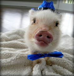 Mini pig Oscar got his very first bow tie!
