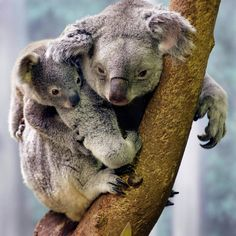 Koala baby with his mother at the Cleveland Zoo Animals Images, Animals And Pets, Animal Pictures, Baby Animals, Wild Animals, Baby Koala, Koala Bears, The Wombats, Australian Animals