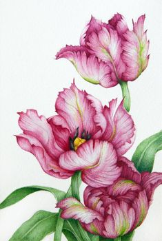 Tulip Drawing, Tulip Painting, Art Floral, Botanical Art, Botanical Illustration, Botanical Flowers, Watercolor Flowers, Watercolor Paintings, Parrot Tulips