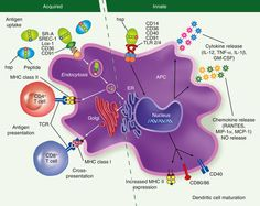 Heat-shock proteins as dendritic cell-targeting vaccines – getting warmer http://onlinelibrary.wiley.com/enhanced/doi/10.1111/imm.12104/?utm_content=bufferbae67&utm_medium=social&utm_source=pinterest.com&utm_campaign=buffer #immunology #science