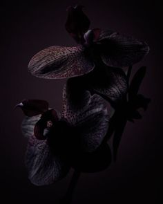 Gorgeous black orchid painting for the wall Shades Of Black, Shades Of Purple, Black Flowers, Wild Flowers, Tom Ford Black Orchid, Garden Of Earthly Delights, Deep Winter, All Black Everything, Dark Beauty