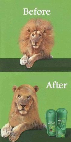 Amazing product straights lions hair!