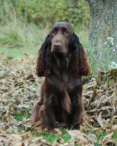 Field Spaniel #Spaniels #Dogs #Puppy   Hunde