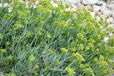 kritamo-kalliergeia Plants, Plant, Planets