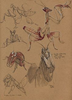 Insects, Floris van der Peet on ArtStation at… Animal Sketches, Animal Drawings, Art Drawings, Life Drawing, Drawing Sketches, Insect Anatomy, Drawing Studies, Toned Paper, Insect Art