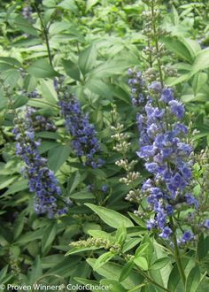 Blue Diddley® - Chastetree - Vitex agnus-castus