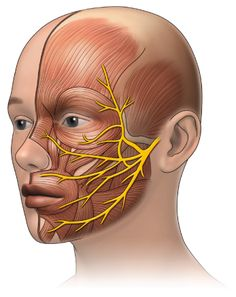 surface anatomy facial nerve - Google Search