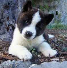 Akita laying on dirt with rocks behind it