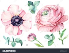 Ranunculus and eucalyptus, anemone.  Floral isolated elements for wedding, invitation, greeting cards.  Watercolour