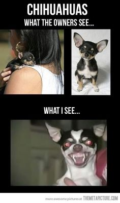 It's funny cause it's true.  (It's a Chihuahua thing!)
