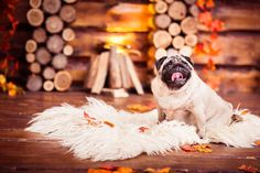 Pugs are a lot of dog in a small space. Enjoy wallpaper images of different Pug dogs and Pug puppies with every new tab.