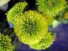 green button mums -filler flower