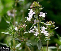 Thymus vulgaris - Echter Thymian